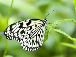 black and white butterfly wallpaper 32271