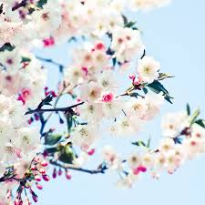 Cherry Blossom Facts by 50 Images Of New Zealand We Can U0027t Stop Looking At