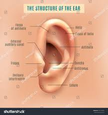 Anatomy Ear Outer External Part Human Ear Structure Stock Vector 531275524