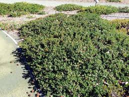 best 25 california native landscape top 5 drought tolerant california native groundcovers for your