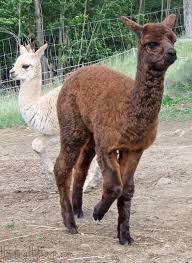 Alpaca Sheep Meme - 22 best alpaca crias of howling hill farm images on pinterest