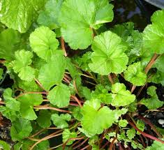 Fragrant Patio Plants - best 25 scented geranium ideas on pinterest drawer fragrance