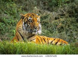 tiger jungle stock photo royalty free 436357426