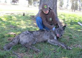 Oregon wildlife images Oregon wildlife officials recommend delisting gray wolves outdoorhub jpg
