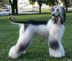 afghan hound club of america 109 best afghan hounds images on pinterest afghans afghan hound