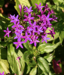 Pentas Flower In Praise Of Pentas Gardendrum