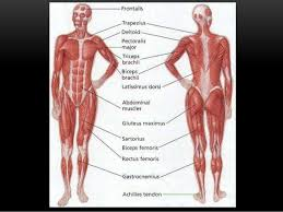 Human Anatomy Muscle Introduction To Anatomy Muscular System