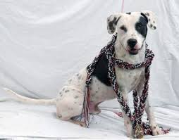 american pitbull terrier dalmatian mix view ad dalmatian pointer mix dog for adoption florida tampa usa