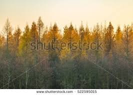 tree tops autumnal forest trees stock photo 522595015