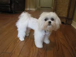 Dog Grooming Styles Haircuts Maltese Dog Haircut Styles Find Hairstyle