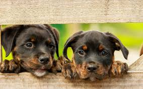 australian shepherd training tips dog u0026 puppy obedience training tips canna pet