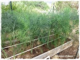 perennial garden vegetables growing organic asparagus