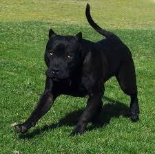 Seeking Pitbull Jennyroxksz Bad Dogs Black