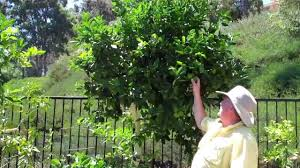 a tree reducing the size of a citrus tree part 1