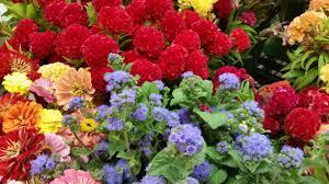 Flowers Near Me - fresh cut flower farm pick up the gardener u0027s workshop