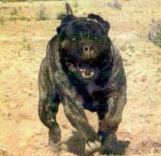american pitbull terrier uk law warning here comes the superdog fears as british thugs use