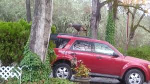 it s thanksgiving and there s a turkey on the car