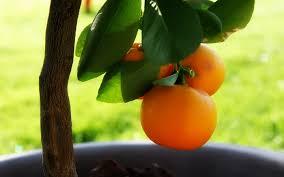 little orange tree wallpaper plants nature wallpapers in jpg