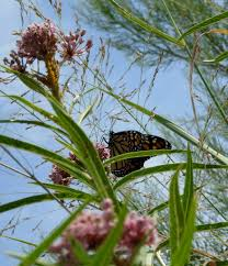 native plants of south texas got milkweed updated plant guide for central and south texas
