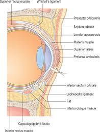 Surface Anatomy Eye Eyelid And Midcheek Anatomy Plastic Surgery Key