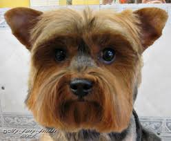 affenpinscher shaved pet grooming the good the bad u0026 the furry tuesdays tip 12 ear