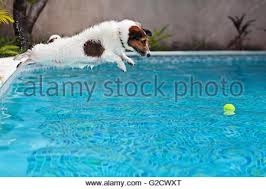 dog in motion jumping into swimming pool on a sunny day stock