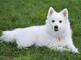 american eskimo dog lab mix 6 facts about the american eskimo dog american kennel club