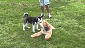 8 month old afghan hound margo at 7 months playing with 4 months old husky puppy mts youtube