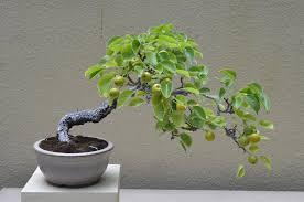 flowering pear bonsai tree pyrus communis youtube