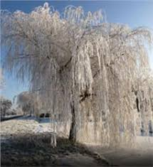 weeping willow tree on the tree guide at arborday org