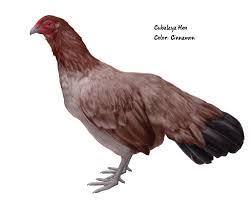 chicken breeds cubalaya hen painted by www caskeystudios com for