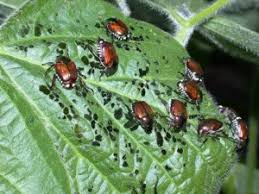 controlling japanese beetles in the home garden high mowing