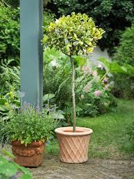 Rosemary Topiary How To Make Topiary Hgtv