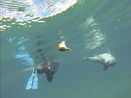 puff puff pass u2013 dolphin getting high off puffer fish offers