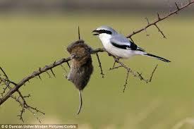 shrike birds deadly branch spike kill prey daily