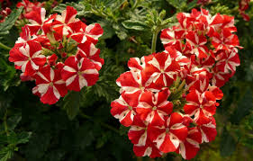 verbena flower verbena sweet dreams voodoo