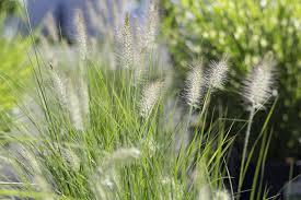 mahoney u0027s garden center using ornamental grasses in the landscape