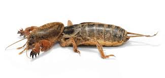 mole cricket wikipedia