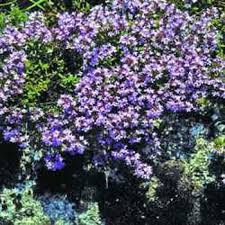 creeping thyme seeds thymus serpyllum of thyme ground