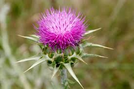 gallery for scottish thistle tattoo designs clip art library