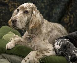 types of setter dog breeds english setter dog breed information and pictures