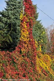plants native to france 20 best flowering vines images on pinterest flowering vines