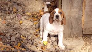 lifespan of a bluetick coonhound american english coonhound