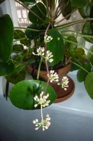 best 25 chinese plants ideas on pinterest money plant chinese