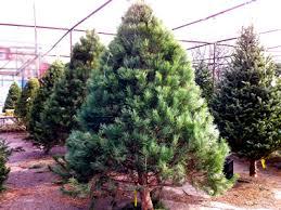 scotch pine christmas tree scotch pine christmas tree farms