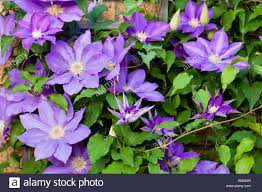 a purple clematis vine in full bloom climbs a trellis in a flower