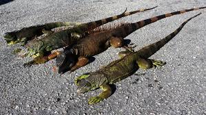 imágenes de iguanas verdes iguanas se descongelan y atacan a habitantes en florida tiempo
