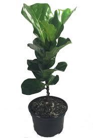 fiddleleaf fig stylized tree shape ficus great indoor tree