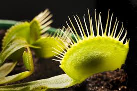 nature u0027s marvel amazing facts about the carnivorous venus flytrap