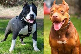 american pit bull terrier history all about dog history of the american pitbull terrier apbt